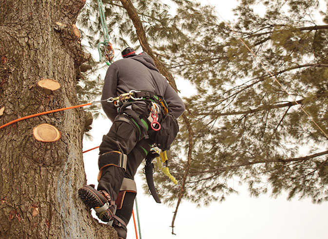 Treder Tree Inc employee trimming a tree