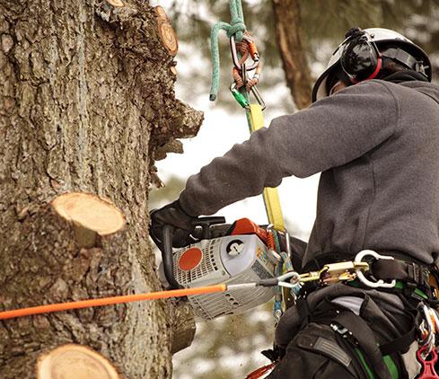 Treder Tree Inc employee cutting a tree down
